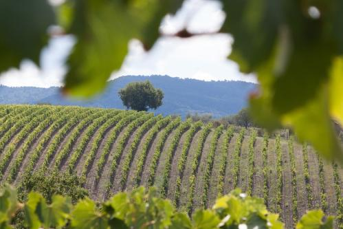Paysage vignes 1